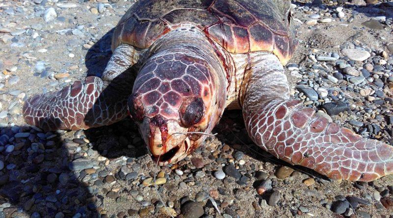 Unscrupulous fishing kills turtle